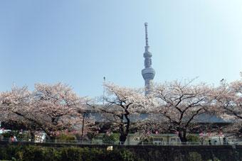 隅田川の桜と屋形船ランチ